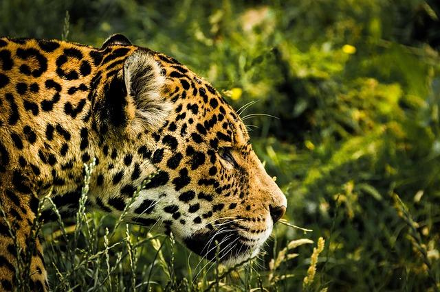 Jaguár – Ten, kto zabíja jediným skokom