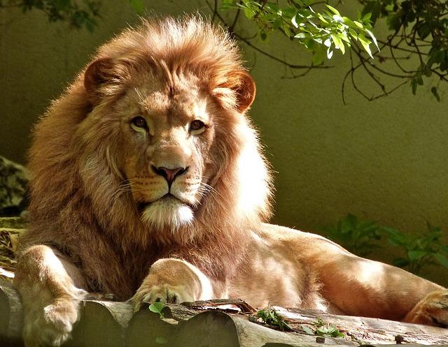 Samec leva s obrovskou hrivou leží pokojne na skale